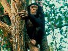Schimpansen verbringen Regenzeit in Baumwipfeln (Foto)