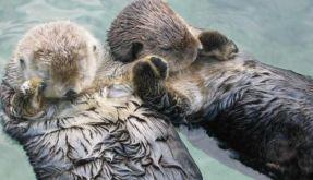 Schlafende Otter halten Händchen, um nicht davonzutreiben. Süß, oder? (Foto)