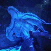 Schlauer Oktopus: Aquarium suchtneue Aufgaben für Ursula (Foto)