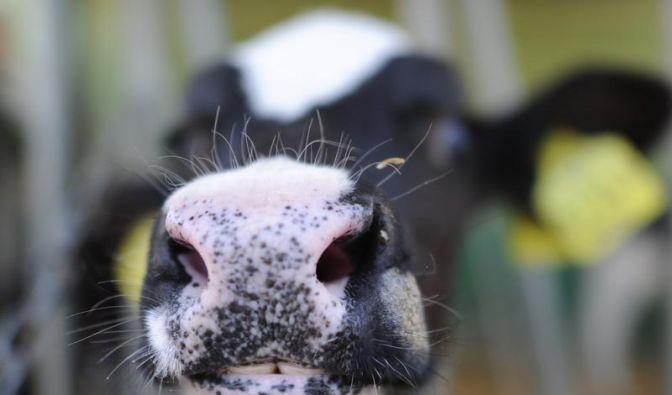 Schmallenberg-Infektionswelle hat Höhepunkt überschritten (Foto)