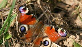 Schmetterling (Foto)