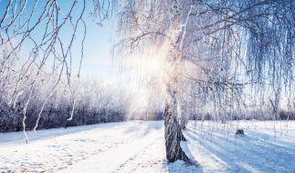 Schneebedeckte Birke, durch deren Zweige die Wintersonne scheint. (Foto)