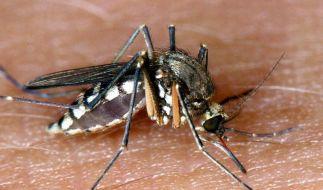 Schon der Anblick einer Mücke löst Juckreiz aus. Die Nazis wollten sie angeblich als Waffen einsetzen. (Foto)