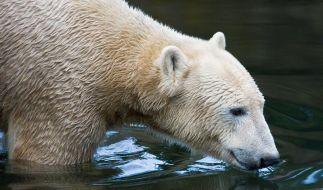 Sektions-Ergebnis: Knut starb an einem Hirn-Defekt (Foto)