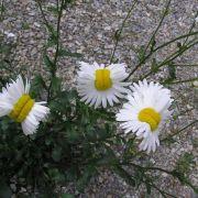 Ließ Strahlung diese Blumen mutieren? (Foto)