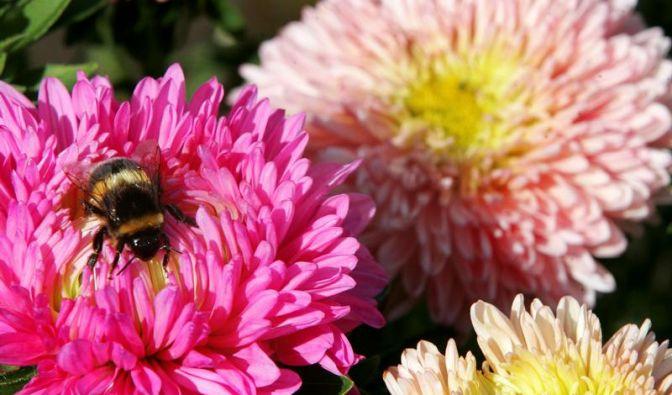 Sommerastern brauchen jedes Jahr einen Standortwechsel (Foto)