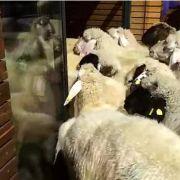 Sommerschlussverkauf im Sportladen - da wollen sich auch Schafe mal ein Auge holen.