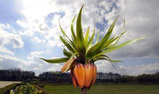 Sonne, Wolken, kalt, warm? Diese Kaiserkrone im Barockgarten Großsedlitz blüht einfach. (Foto)