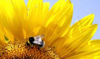 Sonneblume (Foto)