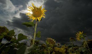 Sonnenblumen (Foto)