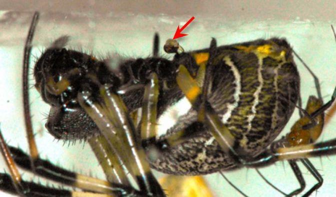 Spinnen-Eunuchen halten länger durch (Foto)