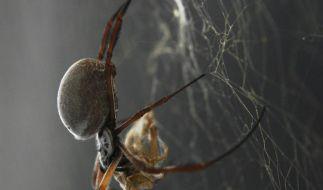 Spinnenseide hilft beim Züchten künstlicher Haut (Foto)