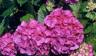 Stauden mit sterilen Blüten für Allergiker (Foto)
