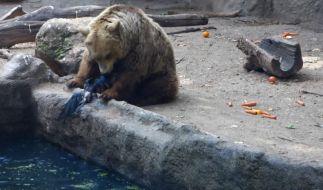 Tierische Rettungsaktion: Ein Bär rettet eine Krähe vor dem sicheren Ertrinkungstod. (Foto)