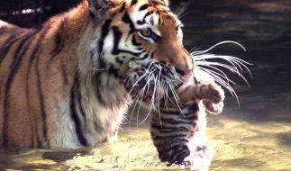 Tiger lieben Wasser. Hier trägt Tigerweibchen Leila eines ihrer 19 Tage alten Jungen durchs Wasser, 20. Mai 2000. (Foto)