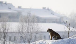 Tiger (Foto)