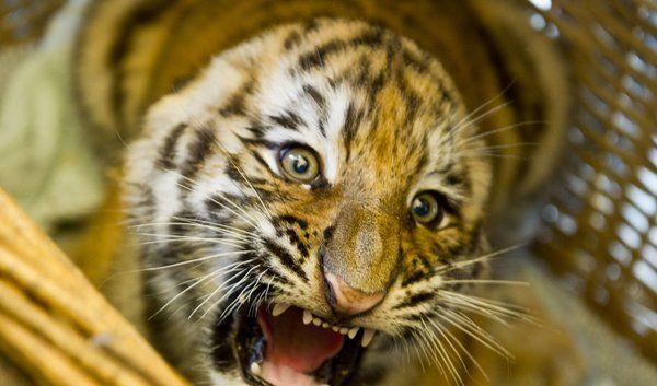tiger.jpg (Foto)