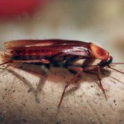 Unbeliebt: eine Kakerlake.