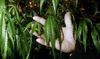 Verpfiffen vom eigenen Sohn: In den USA fanden Beamte 18 Marihuana-Pflanzen im Schlafzimmer der Eltern. (Foto)
