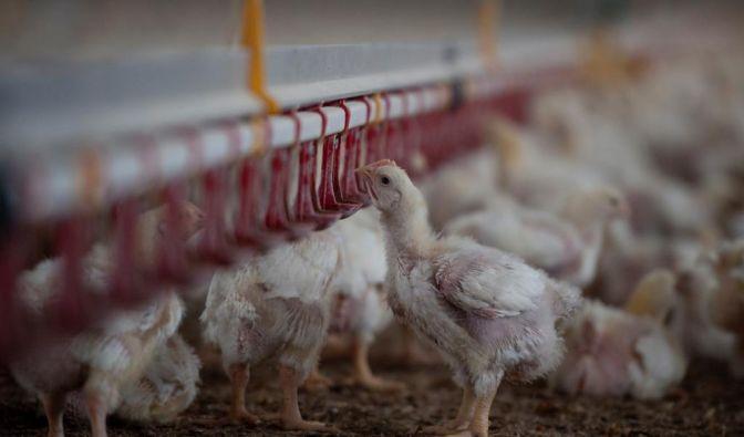 Viele Geflügelbetriebe mästen Hähnchen mit Antibiotika (Foto)