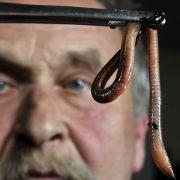 Viele Würmer sind nett - zum Beispiel diese Regenwürmer. Andere hingegen kriechen in den Menschen - wie nun in Indien.