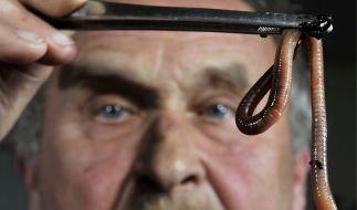 Viele Würmer sind nett - zum Beispiel diese Regenwürmer. Andere hingegen kriechen in den Menschen - wie nun in Indien. (Foto)