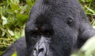 Volkszählung: Zahl der Berggorillas gestiegen (Foto)