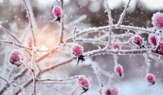Vom Frost überzogene Hagebutten im Schnee. (Foto)