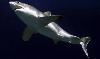 Vor der Küste Australiens wurde laut Berichten einer der längsten Weißen Haie überhaupt gesichtet (Symbolbild). (Foto)