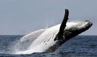 Wale (Foto)