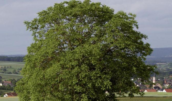 Walnussbäume im August zurückschneiden (Foto)