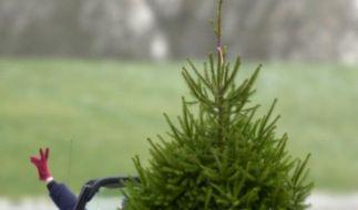 Weihnachtsbaum im Auto transportiert (Foto)