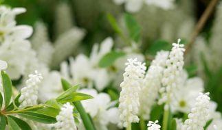 Weißer Blütentraum: Kommt nun der Frühling? (Foto)