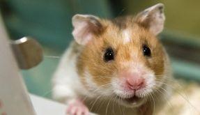 Wer Hamster in der Mikrowelle grillt, muss in England mit einer Haftstrafe rechnen. (Foto)