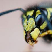 Insekten-Plage! Horror-Wespen attackieren Festival-Besucher (Foto)
