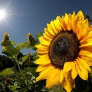 Die Sonnenblume neigt sich nicht nur der Sonne entgegen, sie schließt sich auch bei drohendem Regen.