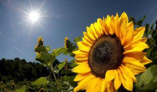 Wetterfrosch Sonnenblume (Foto)