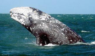 Whale Watching ist bei Touristen besonders beliebt. (Foto)