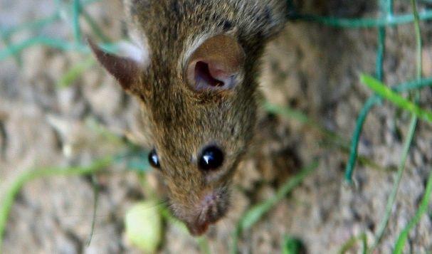 Wie kam die Ratte in das Brot? (Foto)