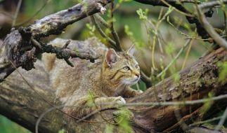 Wildkatzen (Foto)