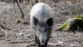 Wildschwein (Foto)