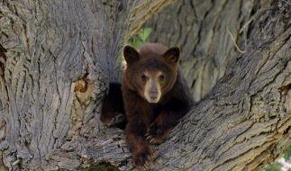 Winterschlaf der Bären lässt Forscher staunen (Foto)