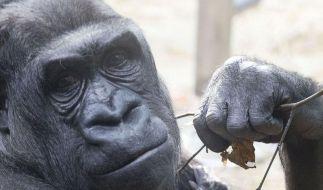 Wissenschaftler entziffern Gorilla-Genom (Foto)
