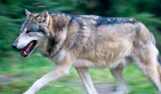 Wölfe kehren nach Deutschland zurück (Foto)