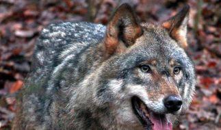 Wölfe siedeln sich in Deutschland an (Foto)