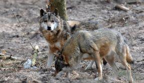 Wölfe (Foto)