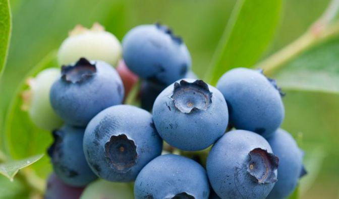 Zeit für blaue Früchtchen: Heidelbeeren schnell verzehren (Foto)