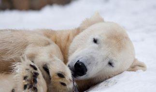 Zoo-Chef:Knut nicht in Stresssituation gestorben (Foto)