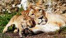 Kuschelalarm im Züricher Zoo: Die Indische Löwin Joy liegt mit ihrem zwei Monate alten Baby Kalika in der Sonne. Foto: ap