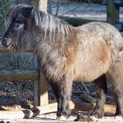 Zottelige Mähne, kurze Beine, vertrotteltet wirkender Blick - wer könnte diesem Tier nur etwas böses tun? Im Landkreis Stade wurden drei Ponys grausam vergiftet. (Symbolbild) (Foto)